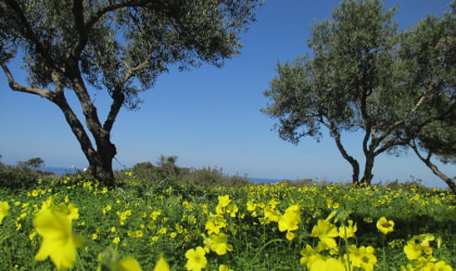 yellow wood sorrel flowers leading up to two olive trees against a brilliant blue sky