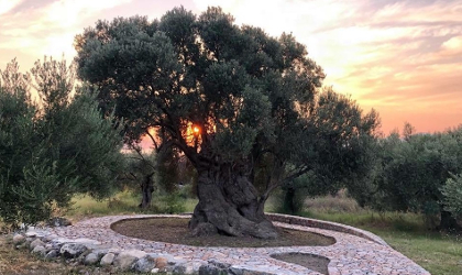 a monumental olive tree in a nicely landscaped area, with the sunset behind it