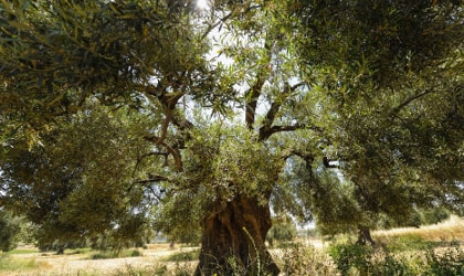 An huge, ancient olive tree at Yanni's Olive Grove