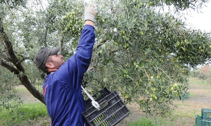 A harvester picking olives by hand in Yanni's Olive Grove, Chaldiki, northern Greece