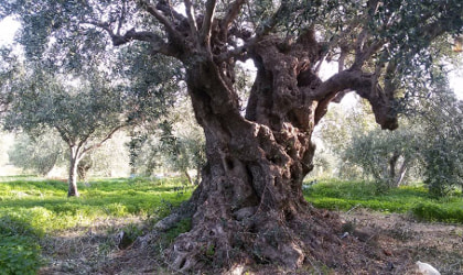 an ancient olive tree in an olive grove