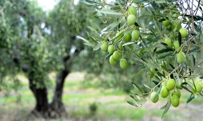 closeup of green olives hanging on a tree, with other olive trees in the background