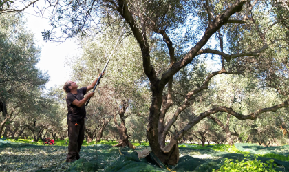 a man reaching up with a long harvester to harvest olives from a tall tree