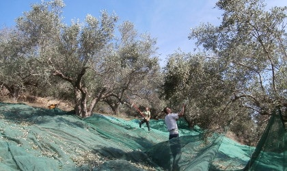 A couple harvesting olives on a steep hillside