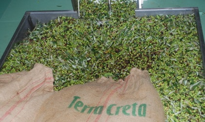 Black and green olives mixed with leaves poured out of a Terra Creta burlap bag into a hopper next to a conveyor belt