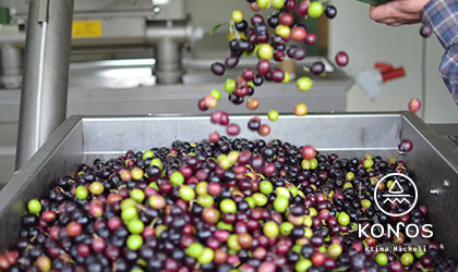 green, purple, and black olives being poured into a vat in the olive mill