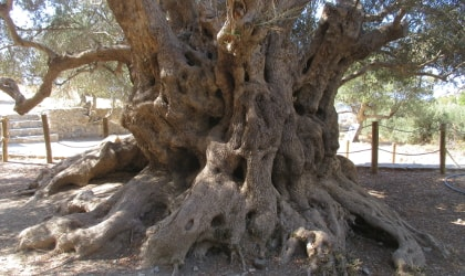 An up-close view of the massive, sculptural trunk of the monumental olive tree of Kavousi
