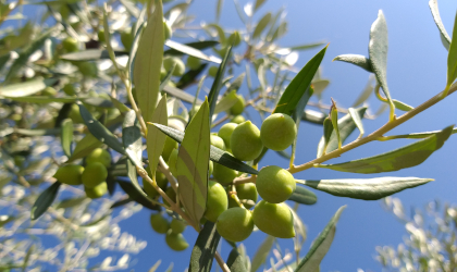 closeup of green olives on a branch against a bright blue sky