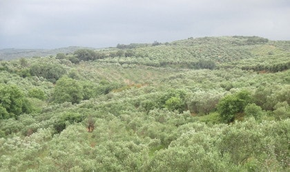 Olive groves in PDO Kolymvari on a cloudy day