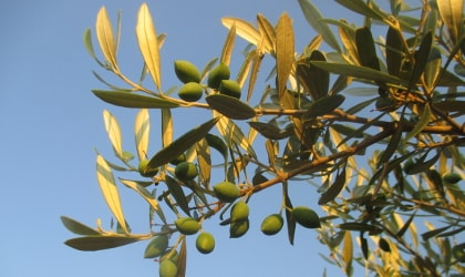 olive leaves and olives glowing in the evening light