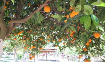 oranges hanging from trees like Christmas decorations