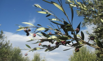 branch with small, ripe black olives against vivid blue sky