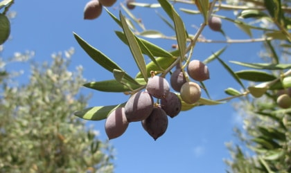 Cluster of ripe purple olives against bright blue sky