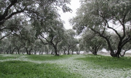 snow on olive trees and green sorrel beneath them
