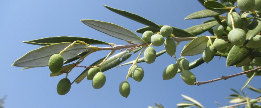 Closeup of an olive branch with green olives and long leaves against a bright blue sky
