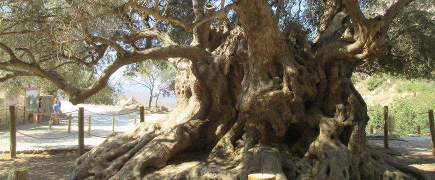 An up-close view of the massive, sculptural trunk of the monumental olive tree of Kavousi, with some of its branches and leaves showing