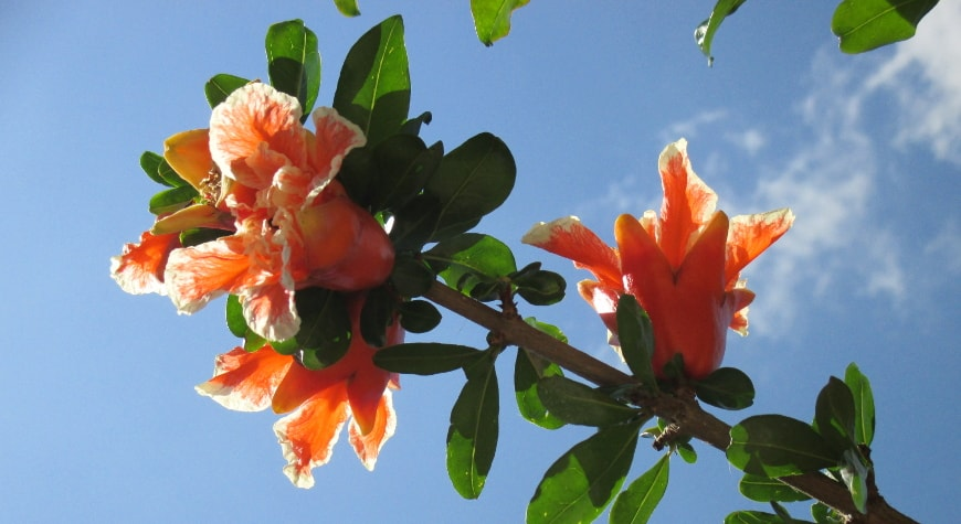 Brilliant red-orange flowers with frilly white edges mixed with baby pomegranate fruits against the bright blue sky