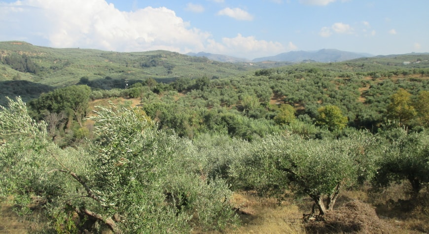olive groves en route to Biolea, inland from Kolymvari