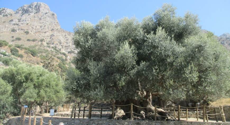the monumental olive tree of Kavousi, with regular olive trees and a rocky hill behind and to the left of it