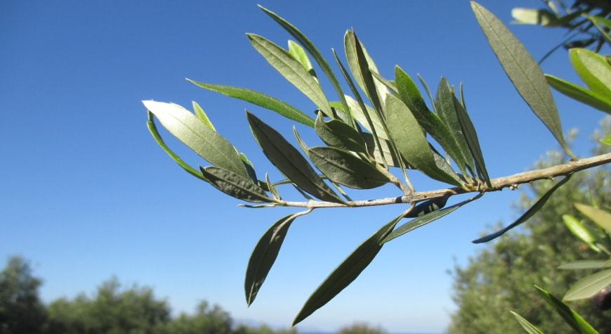 olive leaves against a bright blue sky