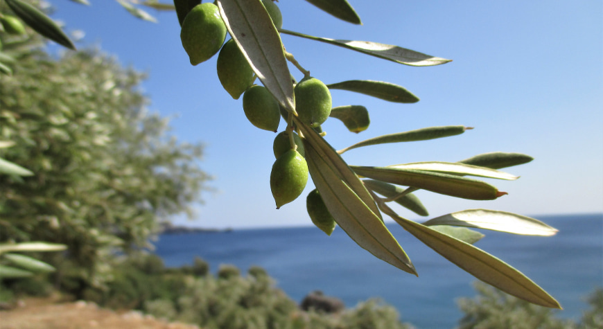 olive branch closeup against the sea and sky