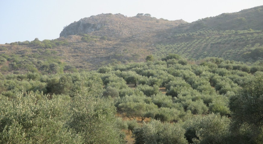 Olive trees in late afternoon light climbing hill near Deliana Gorge