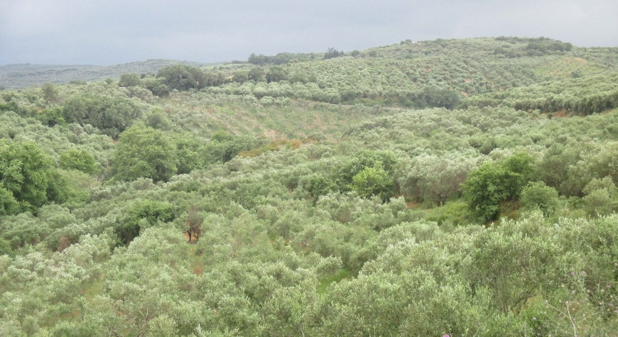 Olive groves between Astrikas and Vouves on a cloudy day