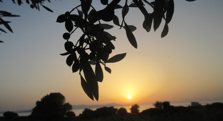 olives and olive leaves silhouetted against the sunset sky