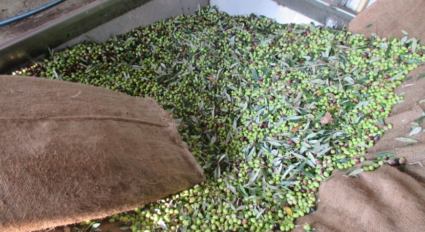 olives poured from burlap bags into a hopper in the mill