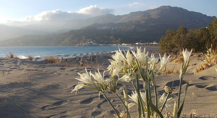 Sea daffodils in the sand dunes, sea, hills, and sky, Plakias, Crete