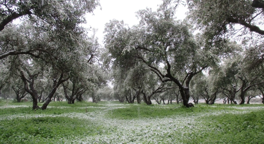 snowy olive grove
