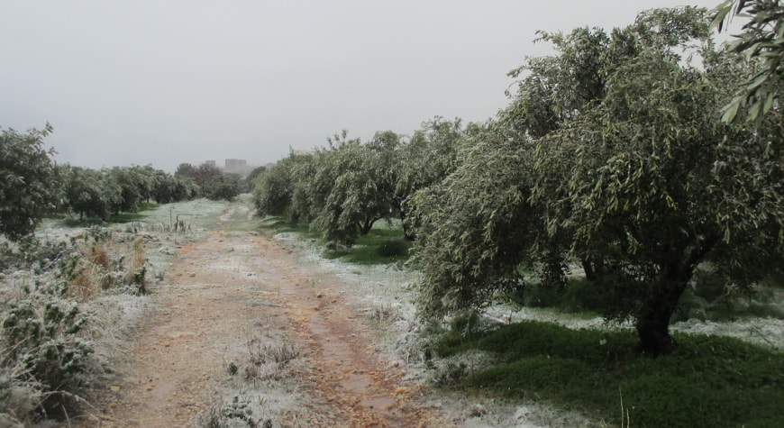 snowy olive grove and dirt road