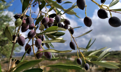 purple olives on a tree with a blue and sky with some clouds behind them