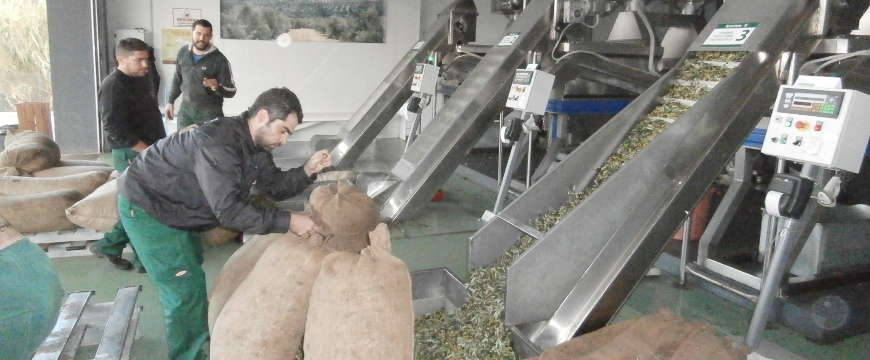 Bringing olives to Terra Creta's mill (outside the mill, pouring olives into hoppers next to conveyor belts)
